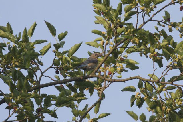 female-bluebird-3_0