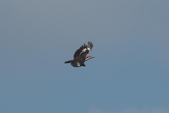 pileated-woodpecker-in-flight